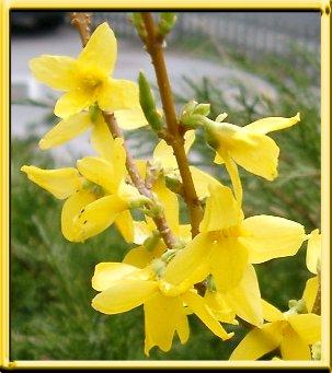 blommande buskar vår